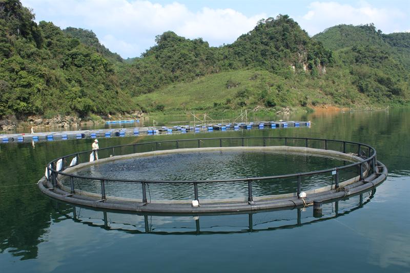 Dự án ứng dụng công nghệ nuôi lồng tròn với thể tích 2.000m3/lồng, năng suất tối đa 50 tấn cá/vụ